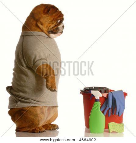 Bulldog Janitor Ooking Down At Cleaning Supplies