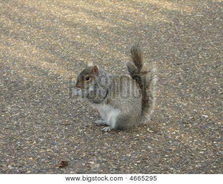Sitzung Eichhörnchen