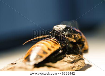 View Of Madagascar Bug With Big Furry Antennaes