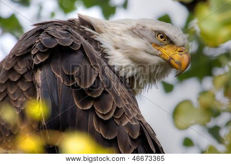 American Bald Eagle In Hdr High Dynamic Range