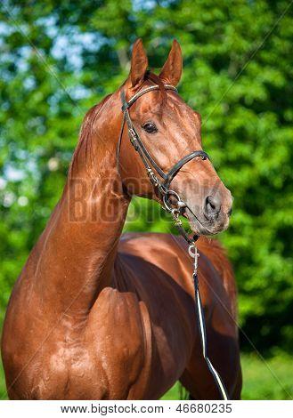 Chestnut Trakehner Stallion