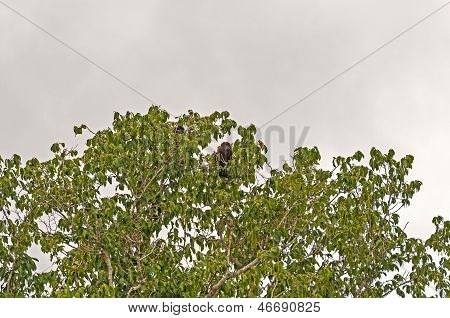 Howler Monkey In A Tall Rain Forest Tree