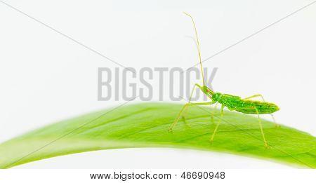 Bright Green Assasin Bug Nymph