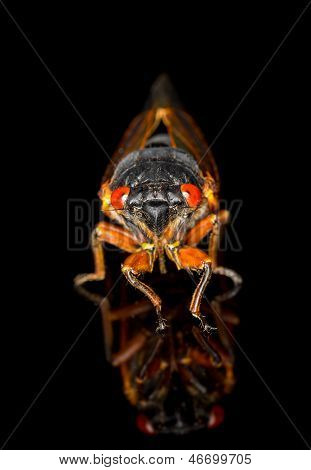Cicada from Brood II in 2013 in Virginia. Detailed macro image against black background poster