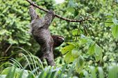 A three toed sloth hanging by three legs on a branch of a tropical plant with one arm hanging down. poster