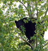 an adult black bear that is eating leaves and branches while sitting in a tree poster