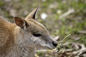 this is the close up of an agile wallaby poster