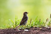 Clay colored Sparrow walking in the grass. poster