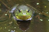 Green Frog (Rana clamitans) in a Pond with duckweed poster