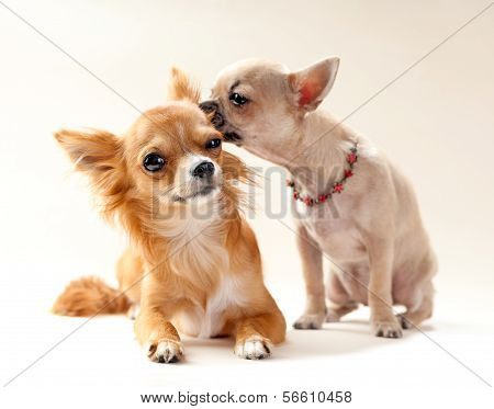 couple of kissing  chihuahua puppies