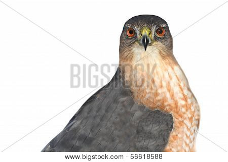 Hawk Isolated On White