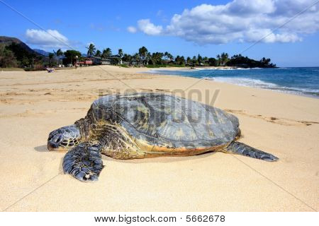resting turtle