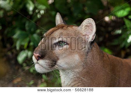 Puma Profile