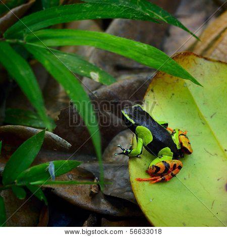 Beautiful Mantella (Mantella pulchra) endemic species of frog in Madagascar