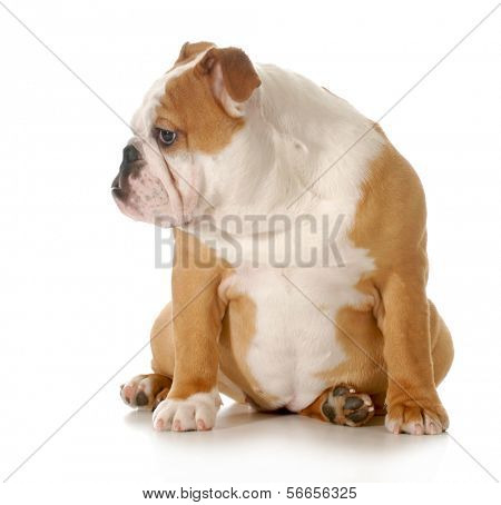 puppy sitting - english bulldog puppy sitting isolated on white background - 5 months old poster