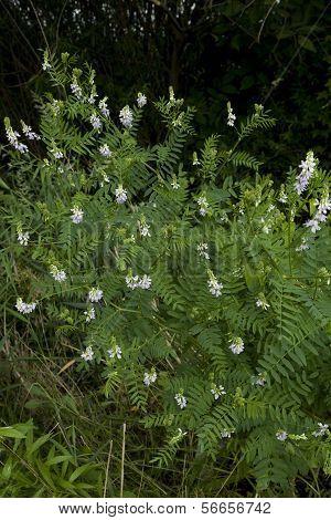 Flower Licorice