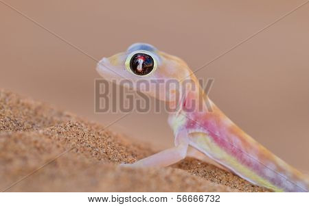 Palmatogecko (pachydactylus Rangei), Also Known As Web-footed Gecko