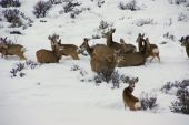 Mule deer herd in deep snow Cordillera Colorado poster