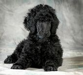 standard poodle puppy laying down - 8 weeks old poster