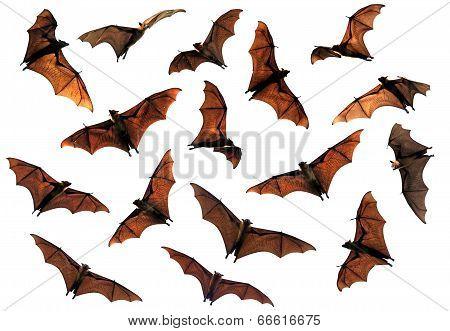 Spooky Halloween flying fox fruit bats