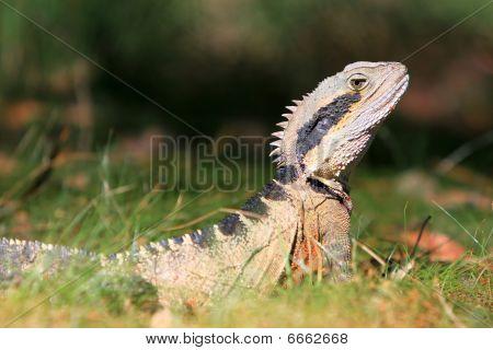 Australian Eastern Water Dragon in the grass.