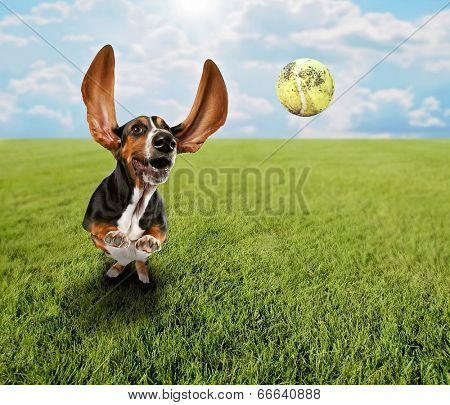 a cute basset hound chasing a tennis ball in a park or yard on the grass