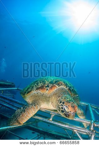 Turtle and Sunburst on an Artificial Reef