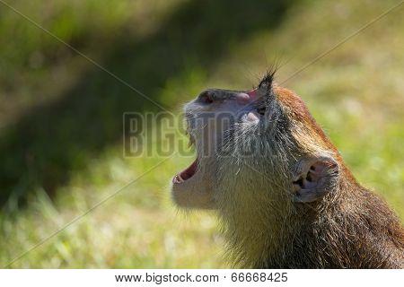 Screaming Patas Monkey