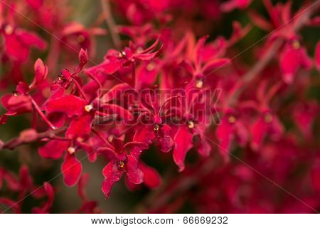 Red Renanthera Orchids Close Up