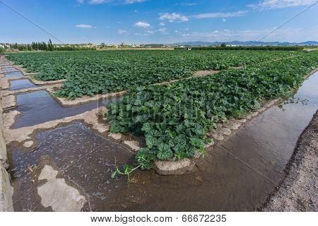 Pumpkin field, early stage