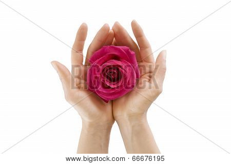 Female Hands Holding  Rose On White Isolated, Close-up