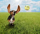 a cute basset hound chasing a tennis ball in a park or yard on the grass poster