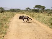 A lone wildebeest crossing the road in the Serengeti Tanzania.Possibly searching for the rest of the migration. poster