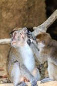 Female Macaque tends to the wounds of an injured male poster