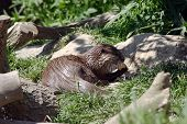 A single Otter feeding poster