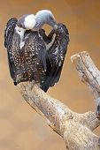 A Ruppell's Griffon Vulture (Gyps rueppellii) on a dead tree poster