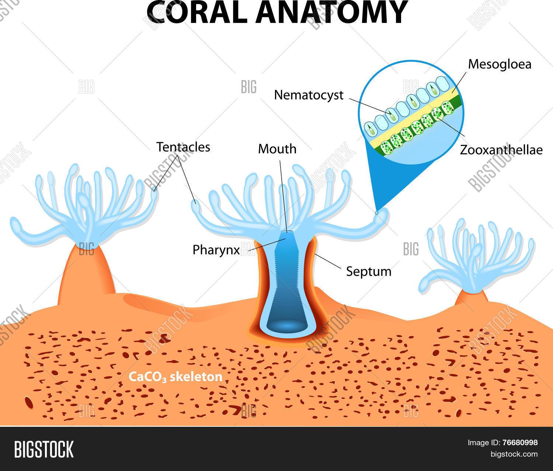 Coral Anatomy Vector Vector Photo Free Trial Bigstock