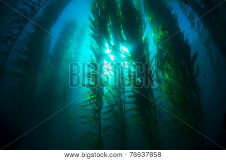 Beautiful underwater kelp forest in clear water shows the sun rays penetrating the giant plants.