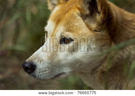Dingo (Canis lupus dingo), Closeup