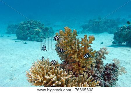coral reef with hard coral and exotic fishes white-tailed damselfish at the bottom of tropical