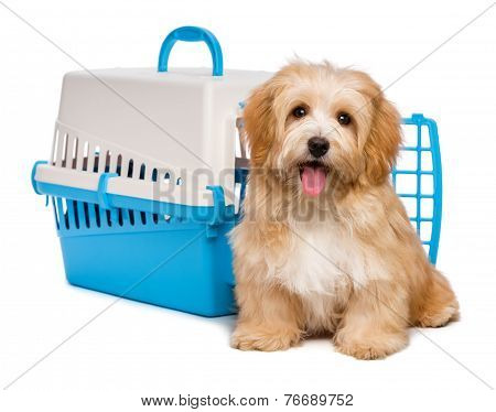 Cute Happy Havanese Puppy Dog Is Sitting Before A Pet Crate