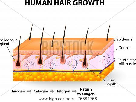 Human hair growth