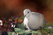 Eurasian collared dove(streptopelia decaocto) in a winter garden poster