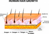 Hair-follicle cycling. anagen is the growth phase; catagen is the regressing phase; and telogen, the resting or quiescent phase. Vector diagram poster