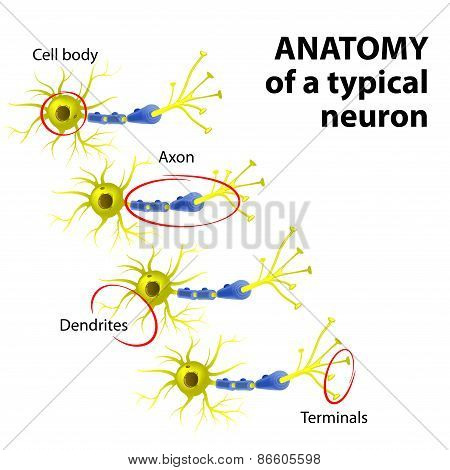 Anatomy Of A Typical Neuron