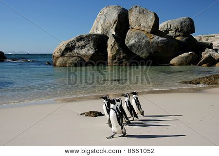 Penguins crossing the sandy beach at Boulders in South Africa poster