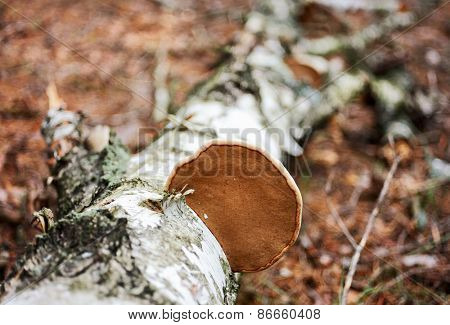 Wood fungus on fallen birch trunk, shallow depth of field shot