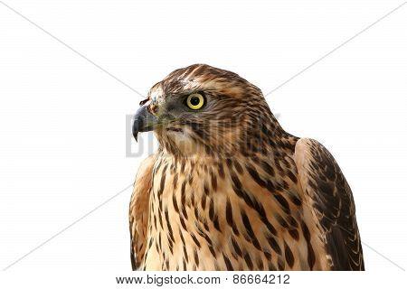 European Sparrowhawk Portrait Over White