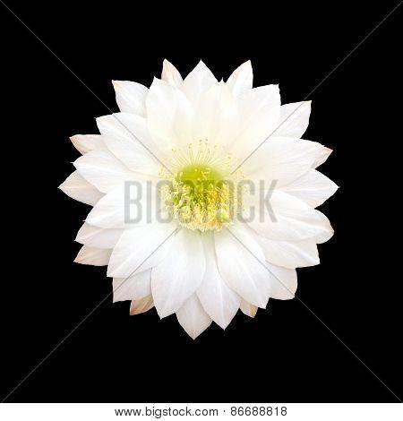 White Cactus flower isolated on black background.