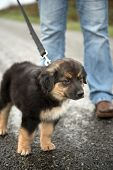Border Collie crossbreed puppy on a leash staring intently. Border Collie, McNab and Lab mix. poster